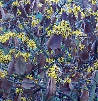 26012009 Witch hazel Hamamellis mollis (detail)
