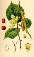 Corylus avellana (all details)