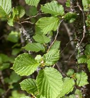 Corylus avellana (leaves)