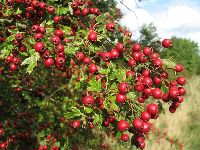 Crataegus monogyna (berries)