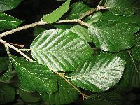 Fagus sylvatica (leaves)