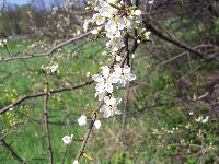 Prunus spinosa (flowers)