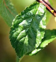 Prunus spinosa (leaf)